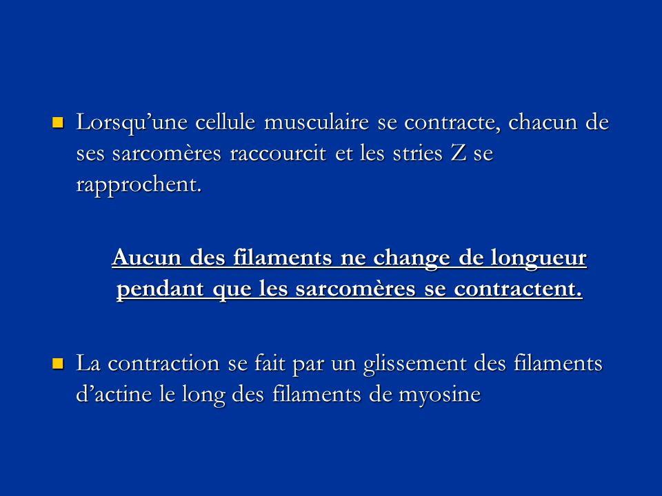 Lorsqu'une cellule musculaire se contracte, chacun de ses sarcomères raccourcit et les stries Z se rapprochent.