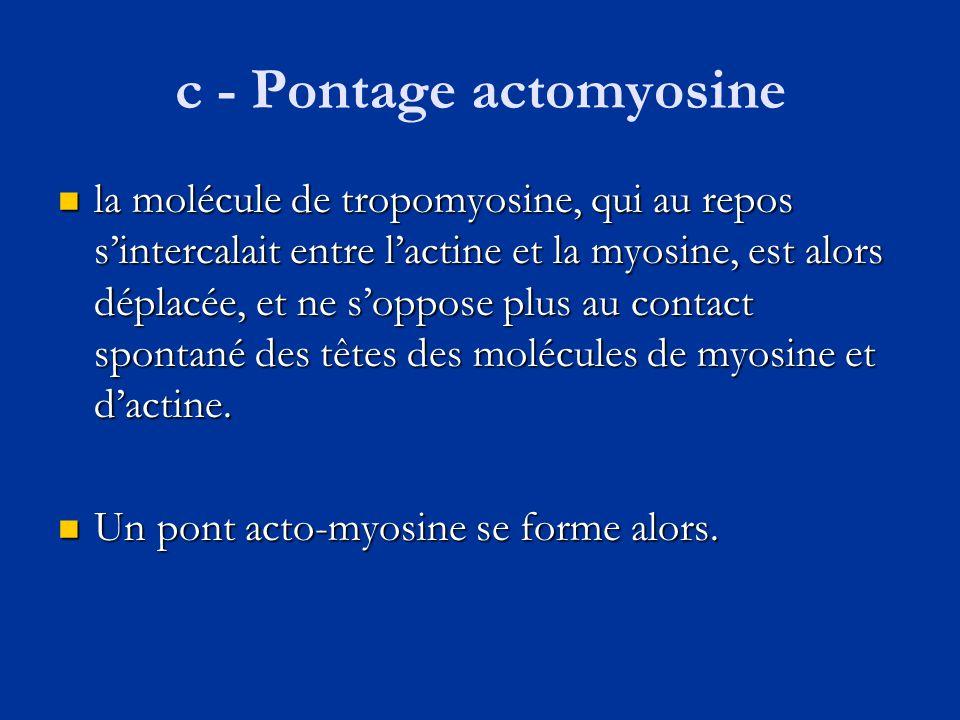 c - Pontage actomyosine