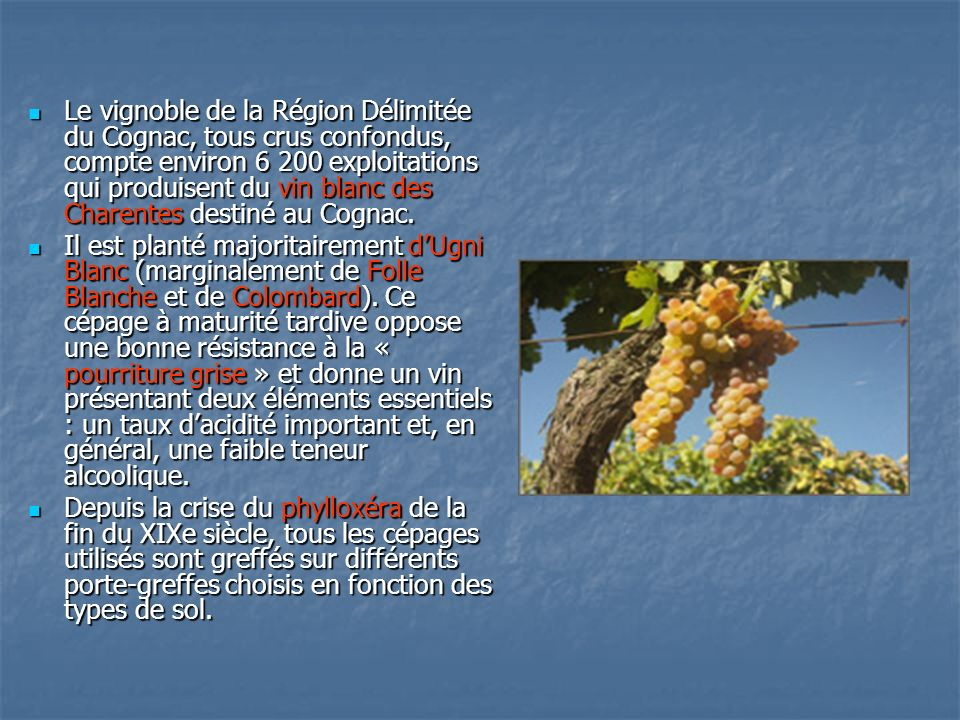 Le vignoble de la Région Délimitée du Cognac, tous crus confondus, compte environ 6 200 exploitations qui produisent du vin blanc des Charentes destiné au Cognac.