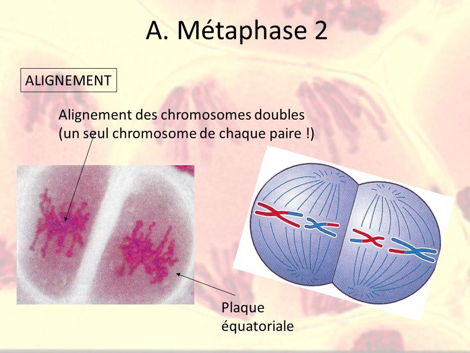 A. Métaphase 2 ALIGNEMENT