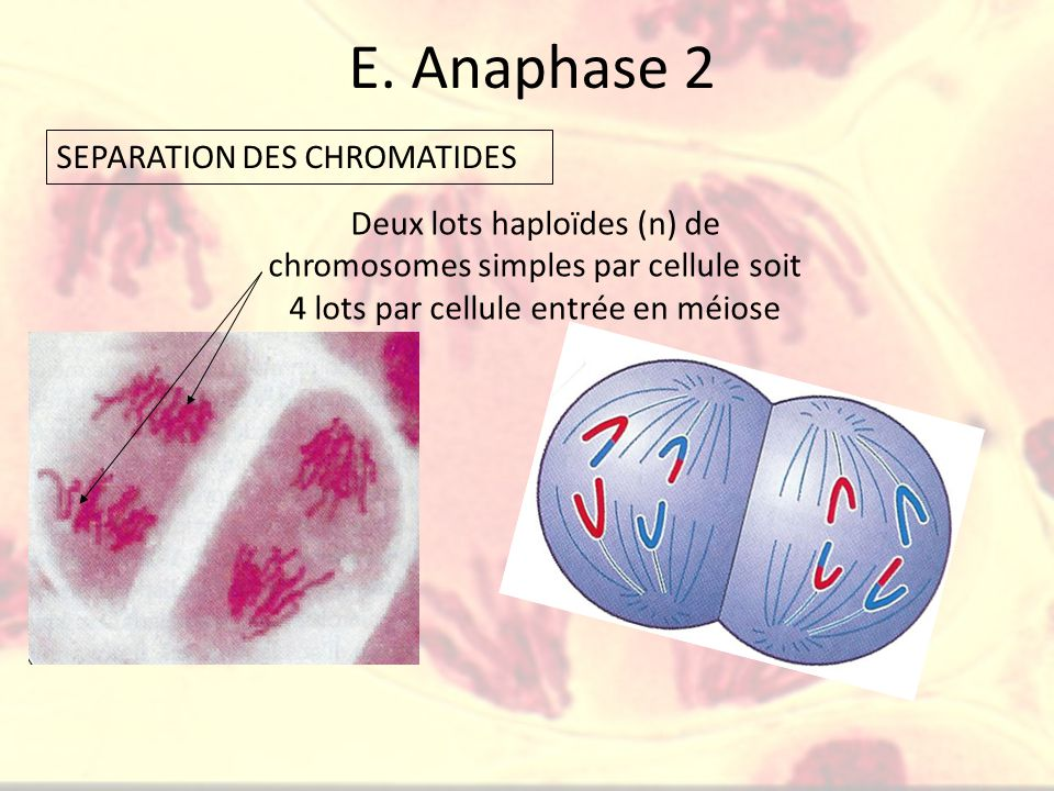 E. Anaphase 2 SEPARATION DES CHROMATIDES