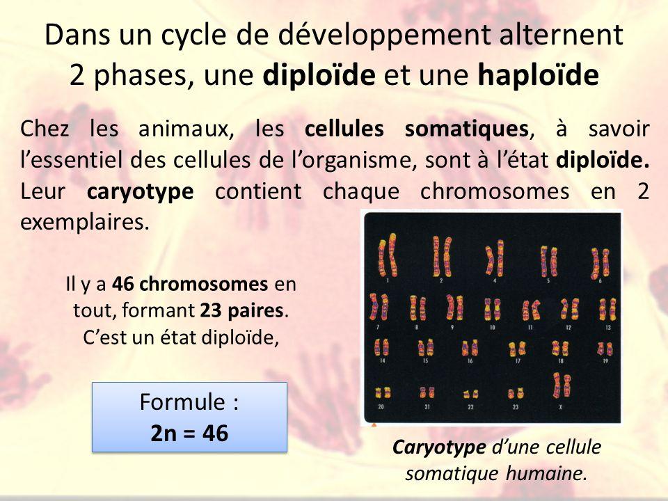 Caryotype d'une cellule somatique humaine.