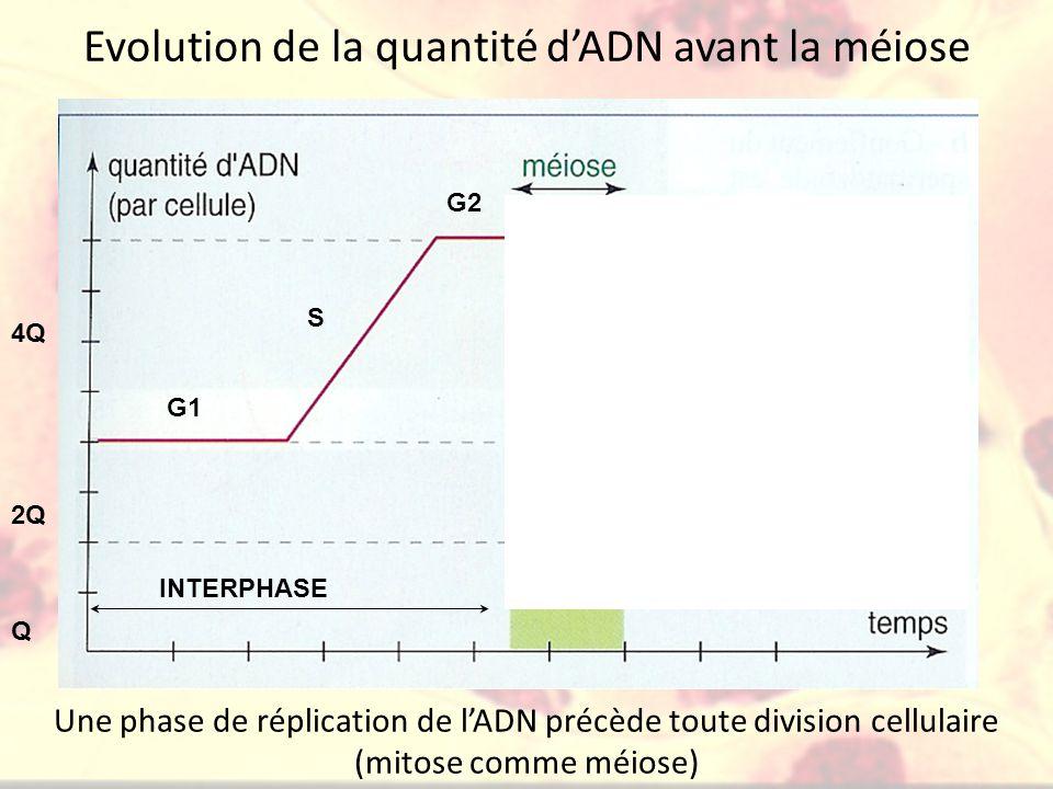 Evolution de la quantité d'ADN avant la méiose