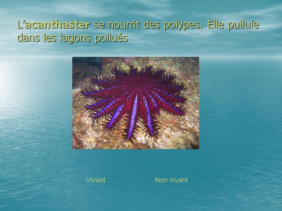 L'acanthaster se nourrit des polypes