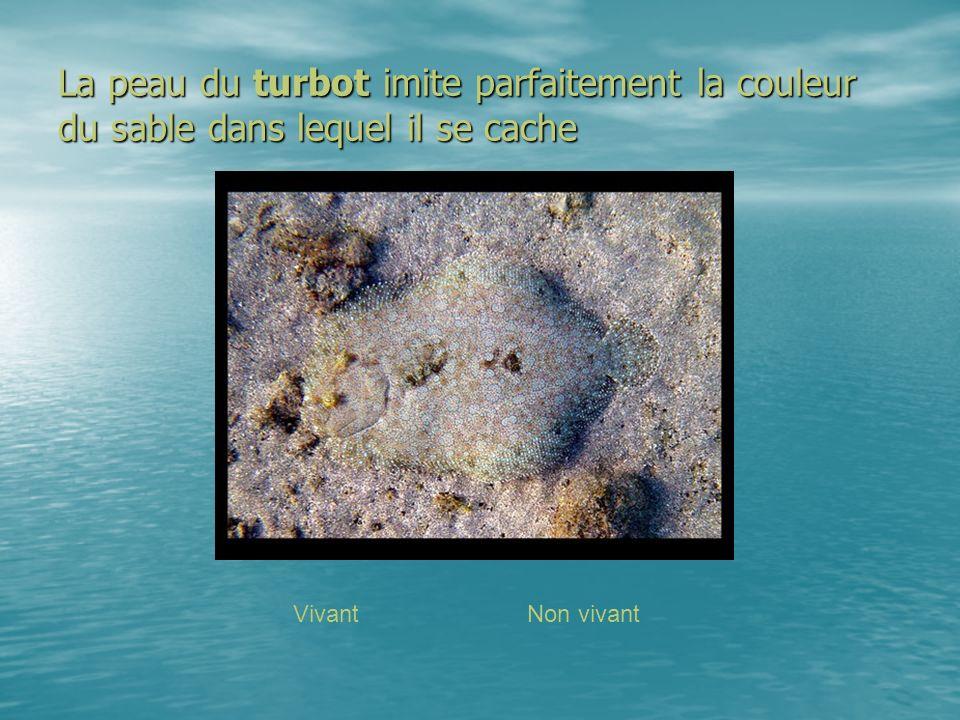 La peau du turbot imite parfaitement la couleur du sable dans lequel il se cache