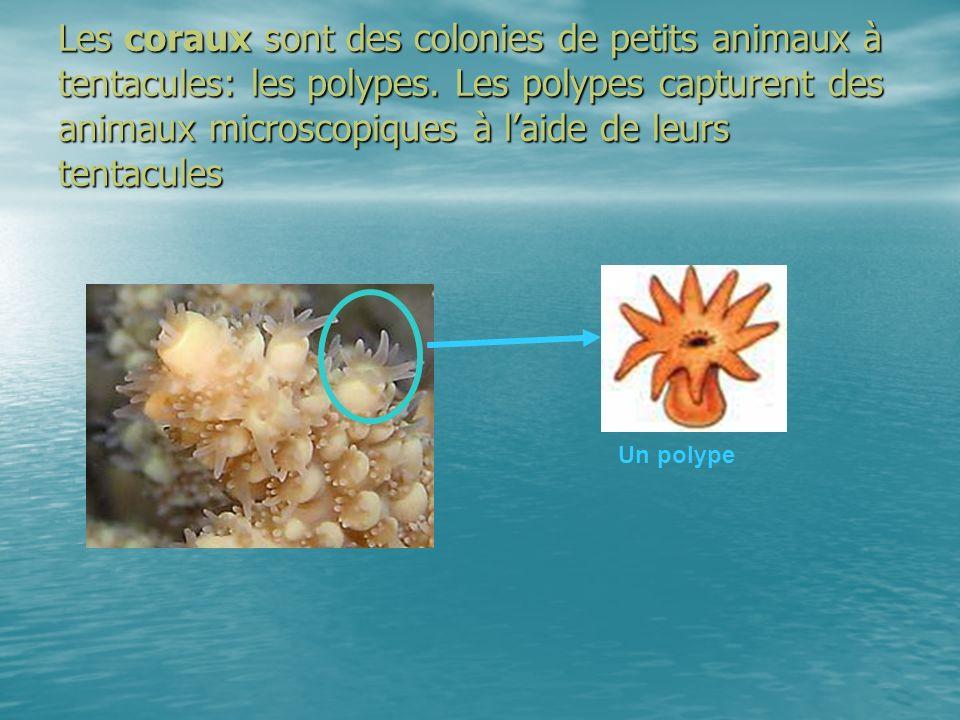 Les coraux sont des colonies de petits animaux à tentacules: les polypes. Les polypes capturent des animaux microscopiques à l'aide de leurs tentacules