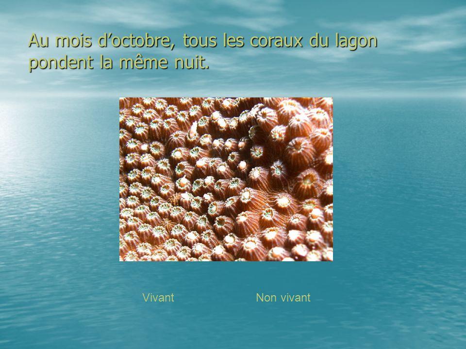 Au mois d'octobre, tous les coraux du lagon pondent la même nuit.