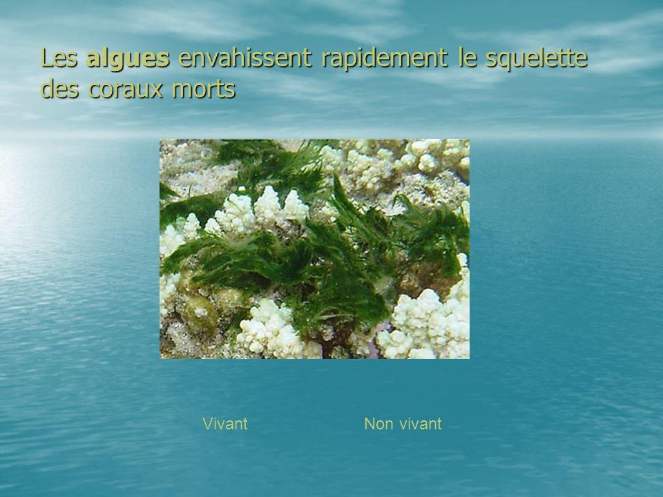 Les algues envahissent rapidement le squelette des coraux morts
