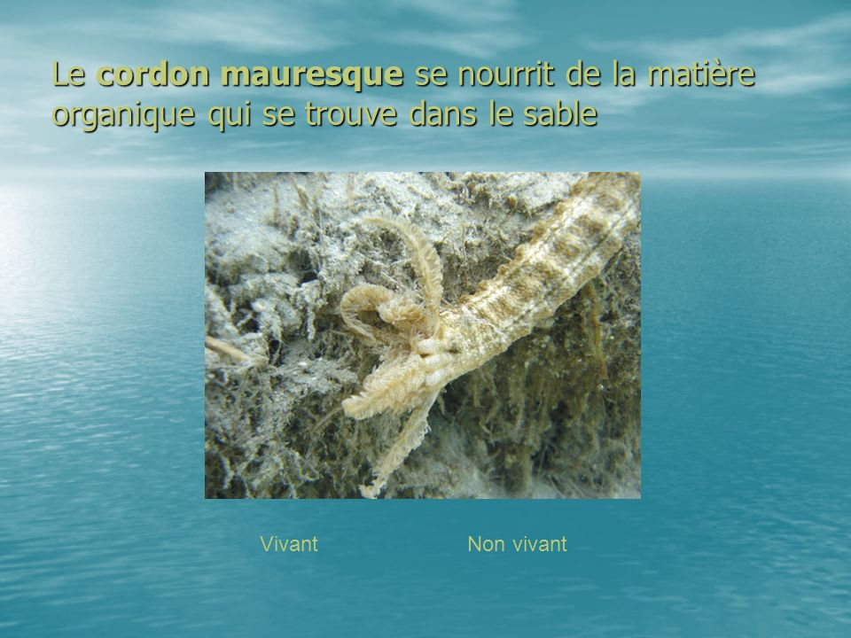 Le cordon mauresque se nourrit de la matière organique qui se trouve dans le sable