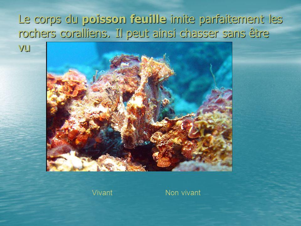 Le corps du poisson feuille imite parfaitement les rochers coralliens