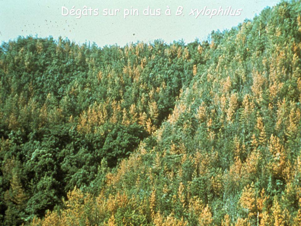 Dégâts sur pin dus à B. xylophilus
