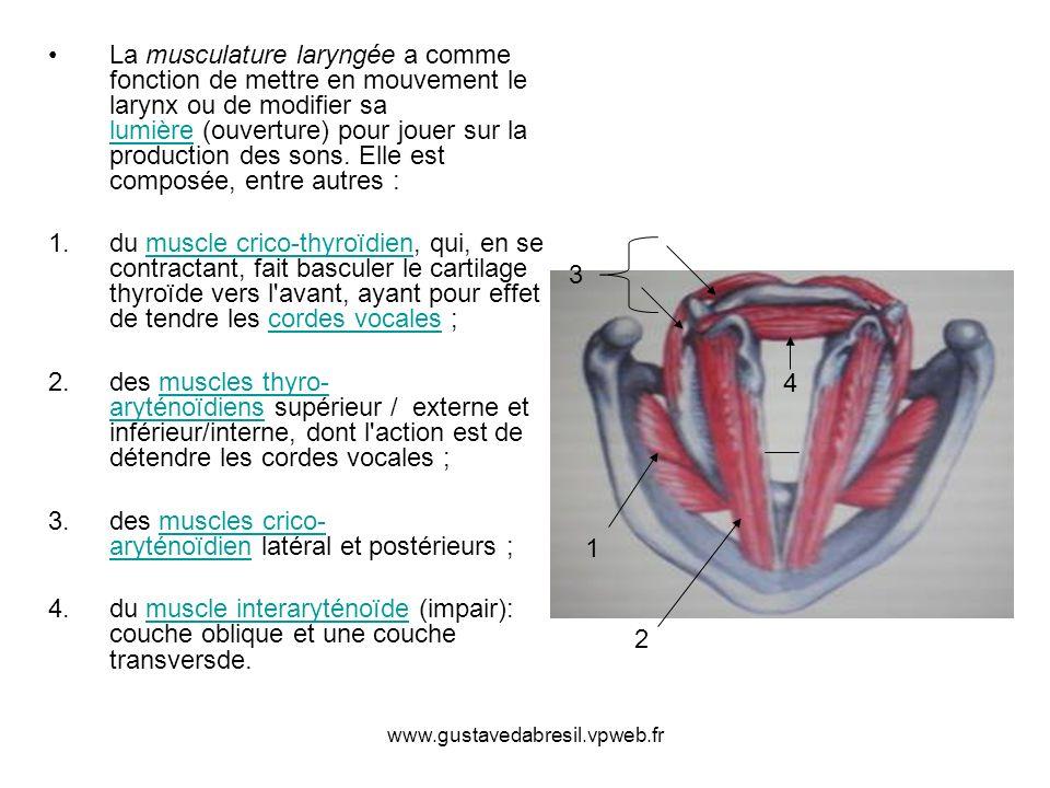 des muscles crico-aryténoïdien latéral et postérieurs ;