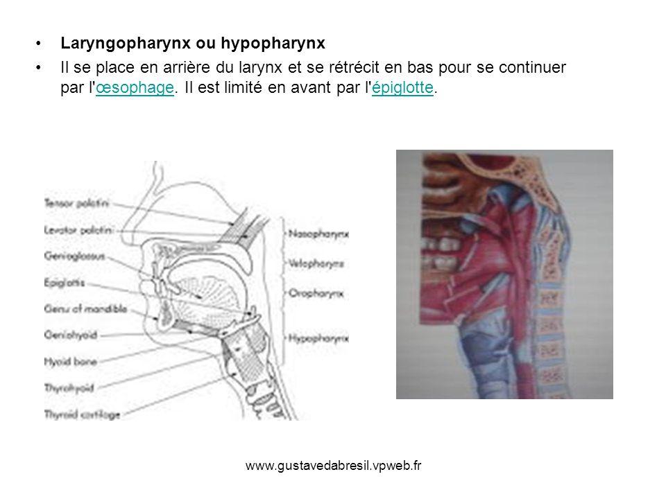 Laryngopharynx ou hypopharynx