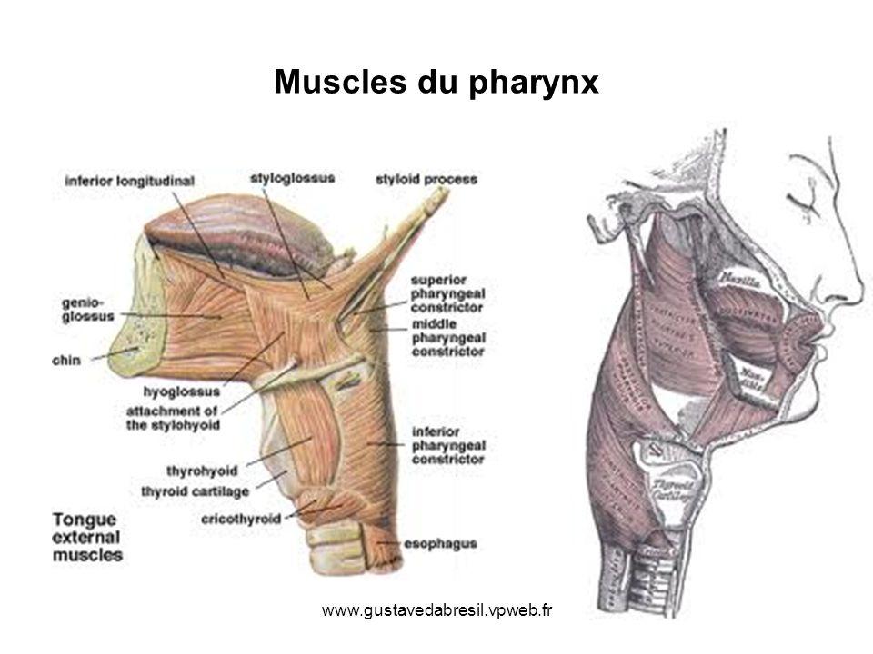 Muscles du pharynx www.gustavedabresil.vpweb.fr