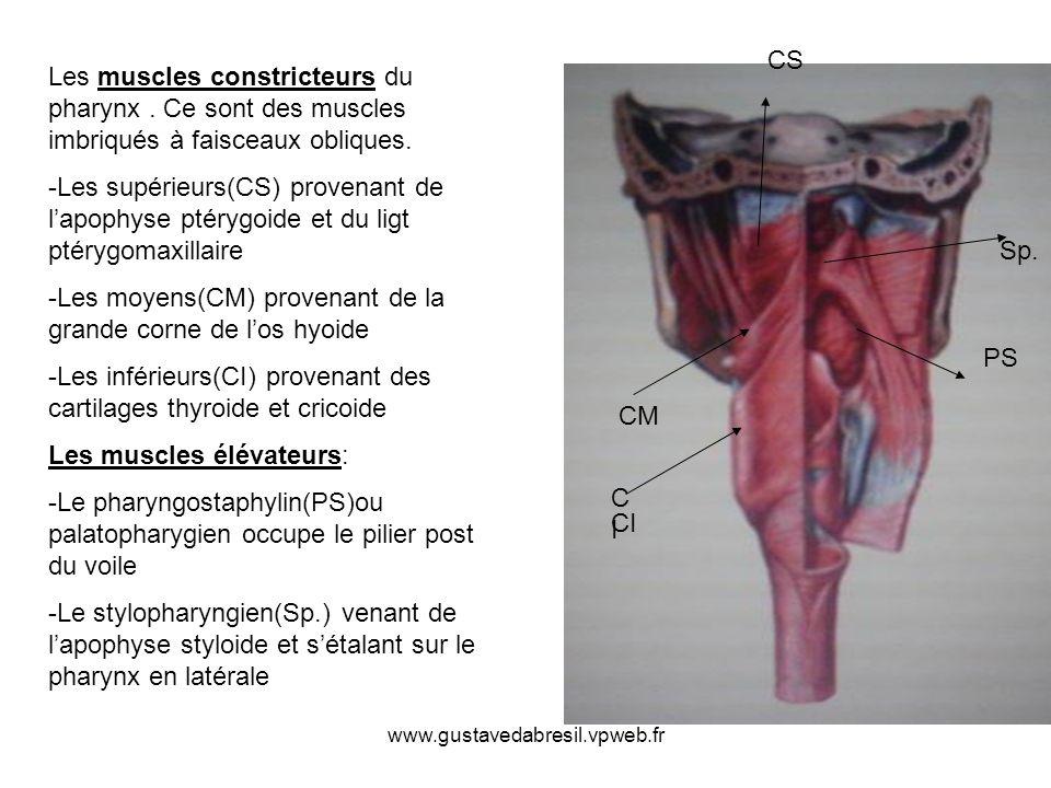 Les moyens(CM) provenant de la grande corne de l'os hyoide