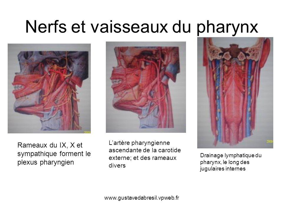 Nerfs et vaisseaux du pharynx