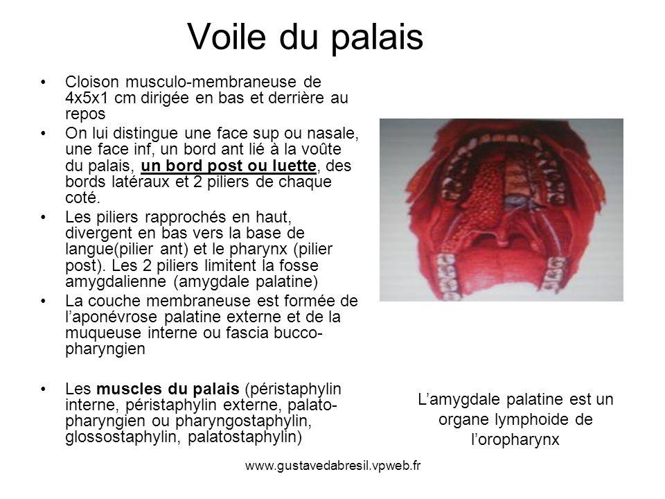 L'amygdale palatine est un organe lymphoide de l'oropharynx