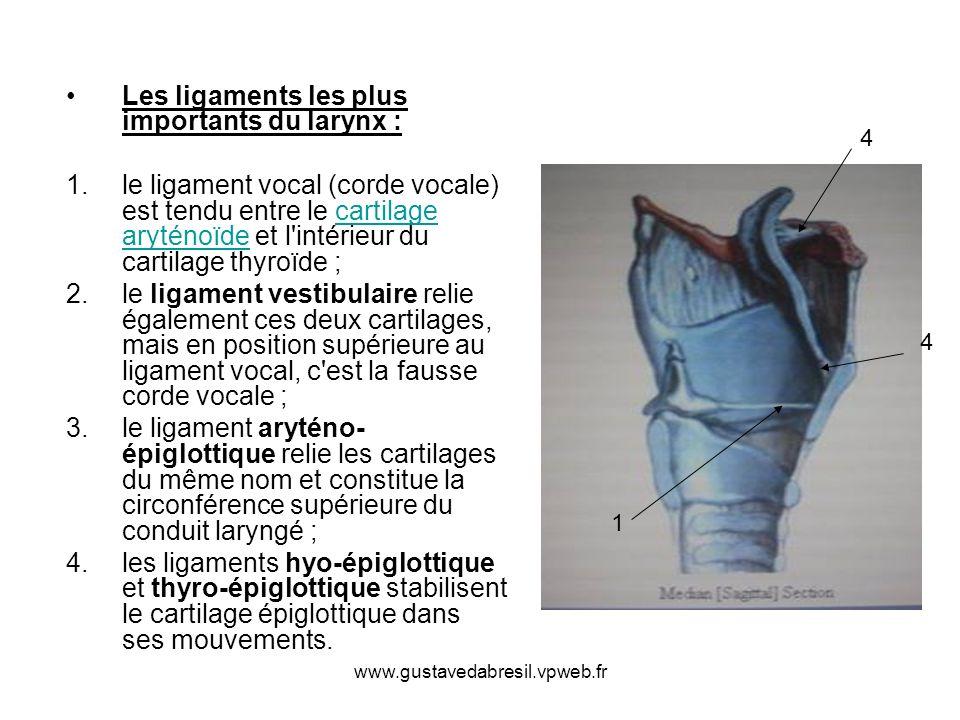 Les ligaments les plus importants du larynx :