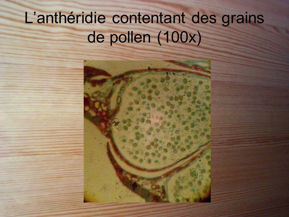L'anthéridie contentant des grains de pollen (100x)