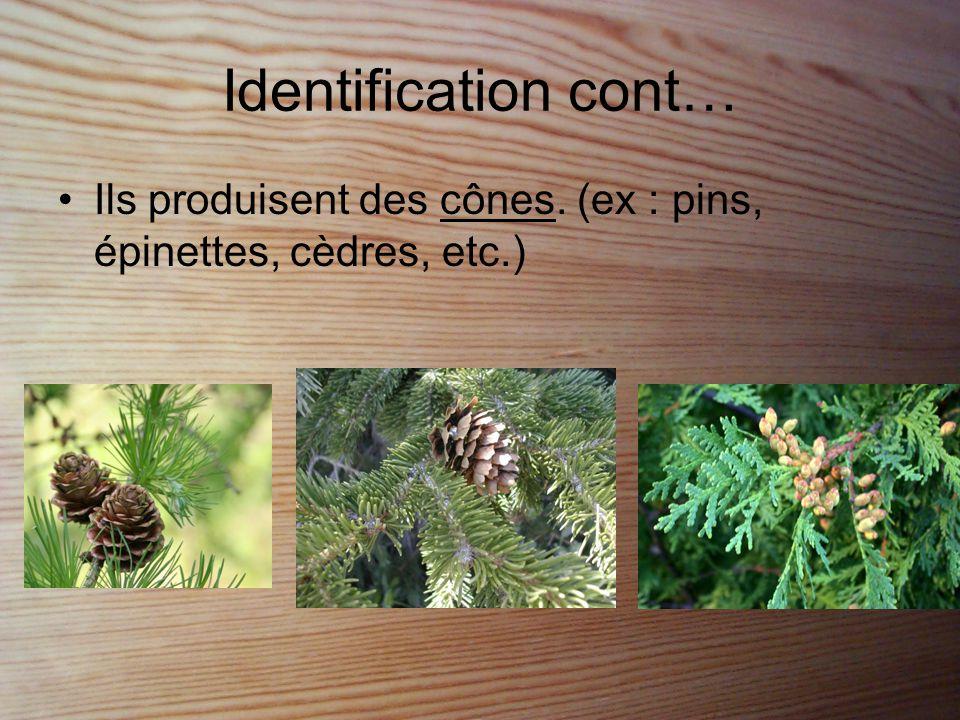 Identification cont… Ils produisent des cônes. (ex : pins, épinettes, cèdres, etc.)