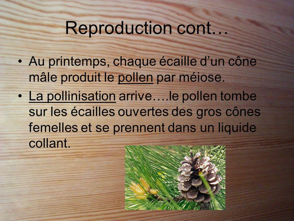 Reproduction cont… Au printemps, chaque écaille d'un cône mâle produit le pollen par méiose.