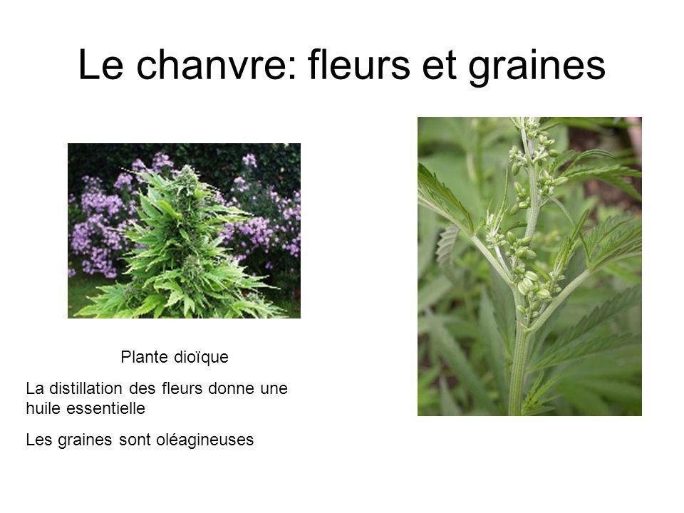 Le chanvre: fleurs et graines