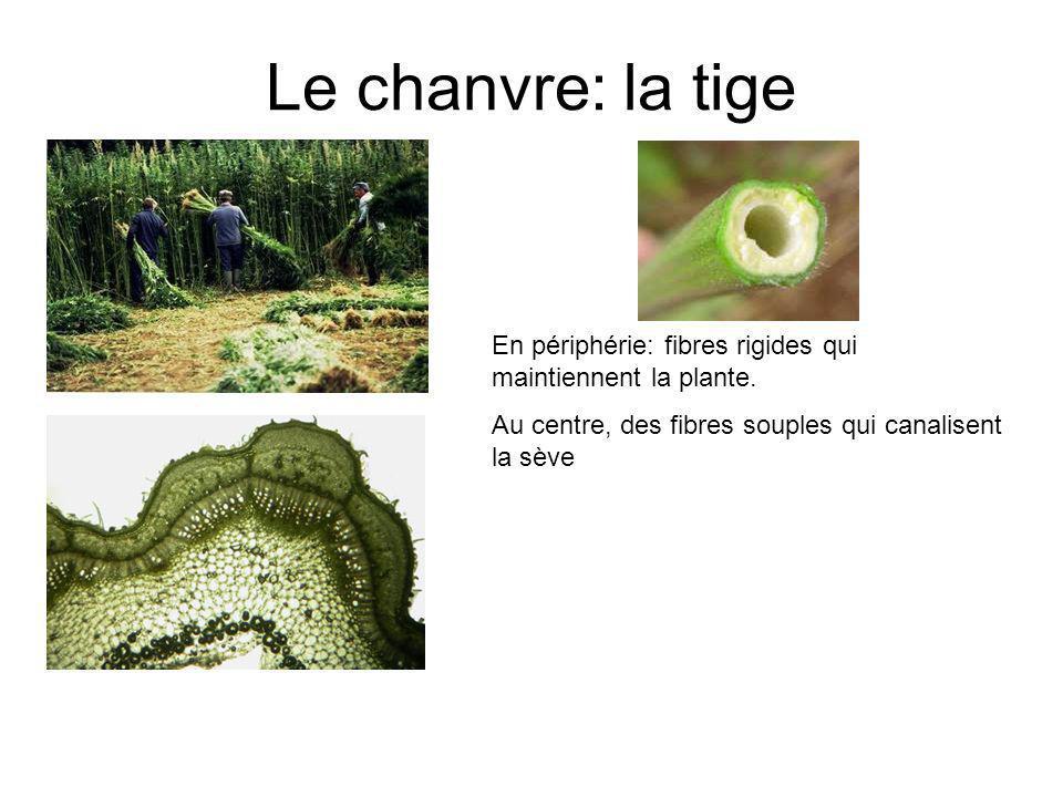 Le chanvre: la tige En périphérie: fibres rigides qui maintiennent la plante.