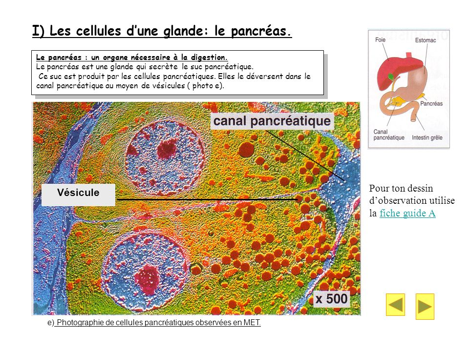 I) Les cellules d'une glande: le pancréas.