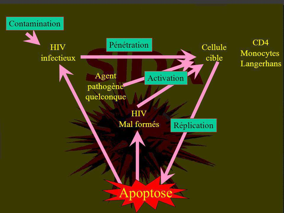 Apoptose Contamination CD4 Monocytes Langerhans Pénétration HIV