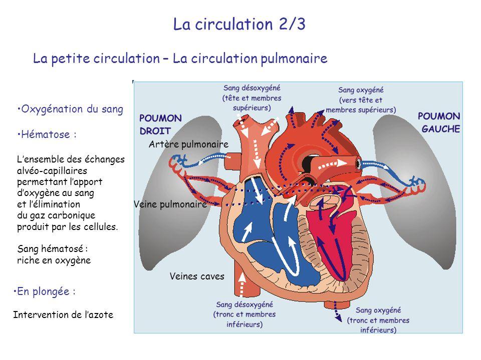 La petite circulation – La circulation pulmonaire