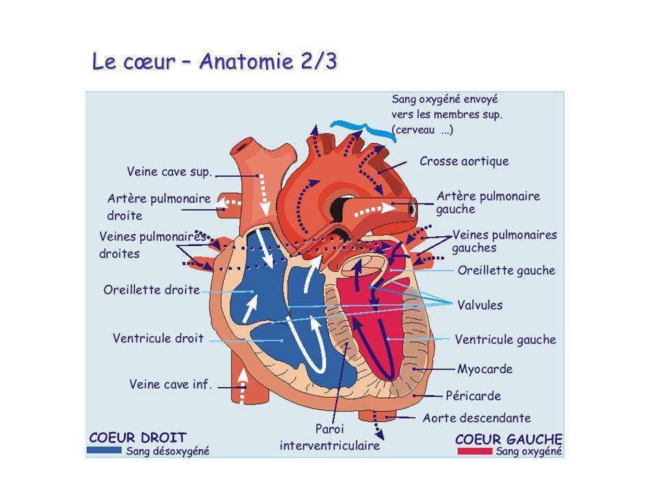 Le cœur – Anatomie 2/3