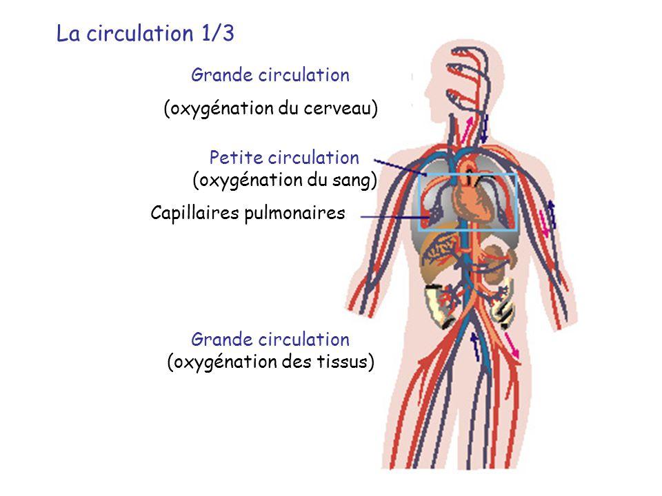 La circulation 1/3 Grande circulation (oxygénation du cerveau)