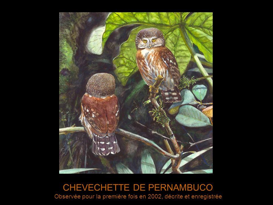 CHEVECHETTE DE PERNAMBUCO