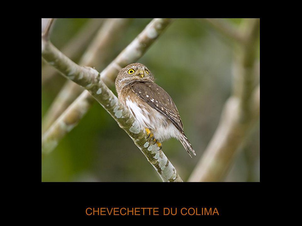 CHEVECHETTE DU COLIMA