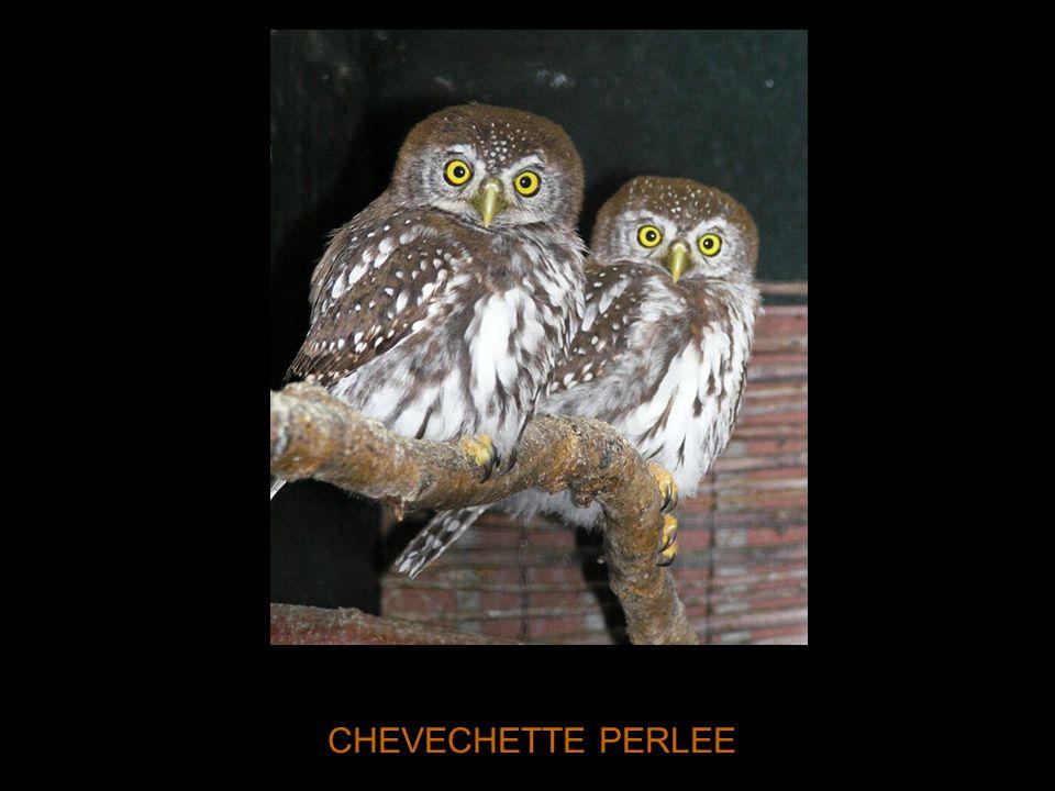 CHEVECHETTE PERLEE
