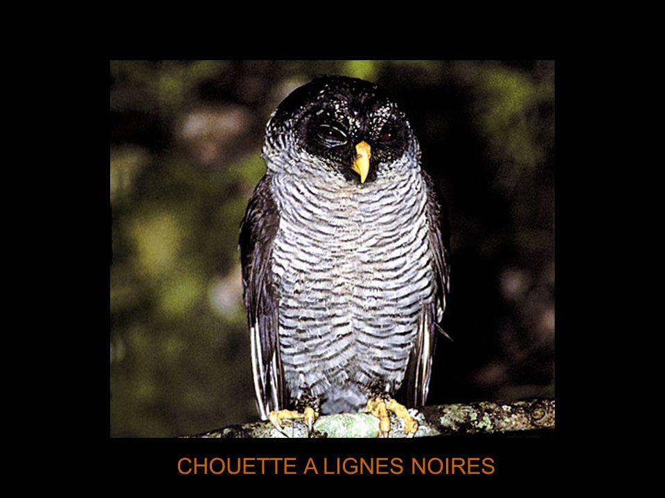 CHOUETTE A LIGNES NOIRES