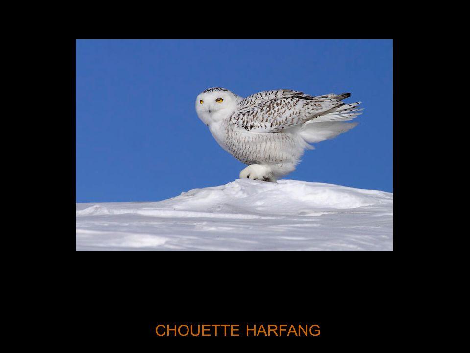 CHOUETTE HARFANG