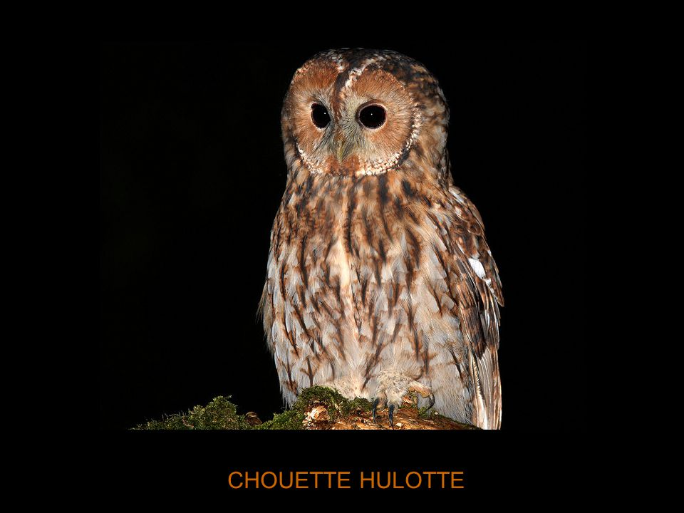 CHOUETTE HULOTTE