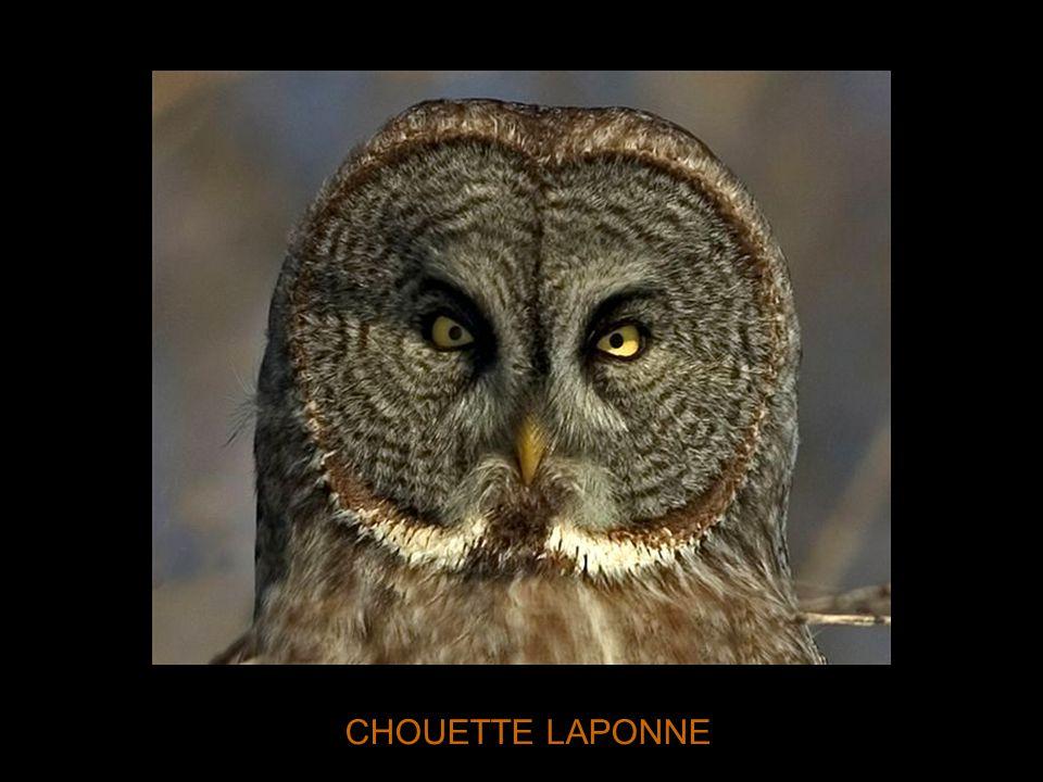 CHOUETTE LAPONNE