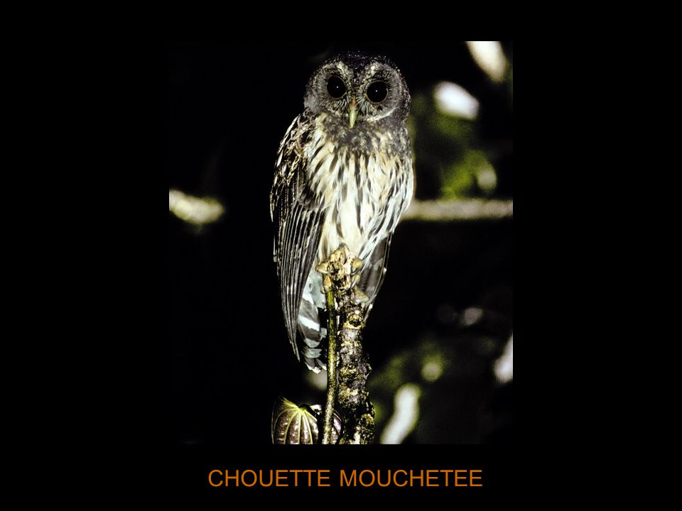 CHOUETTE MOUCHETEE