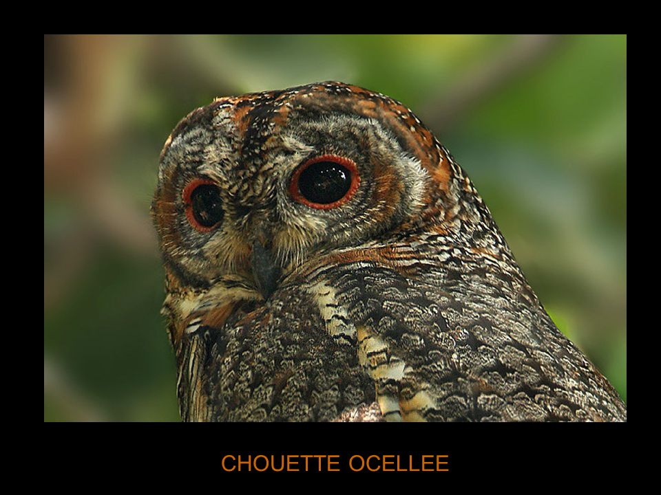 CHOUETTE OCELLEE
