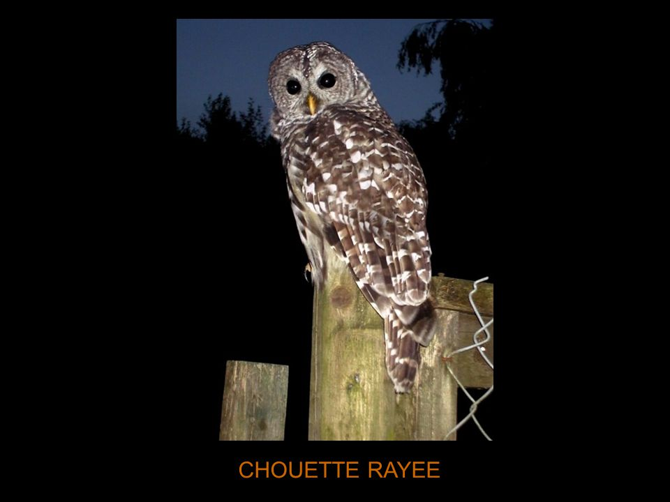 CHOUETTE RAYEE