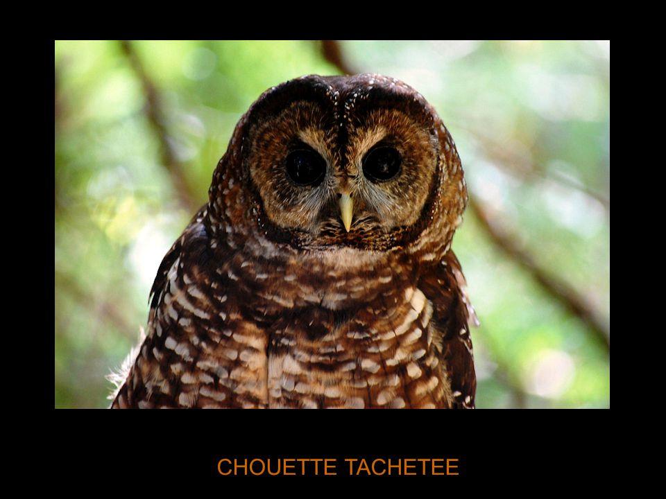 CHOUETTE TACHETEE