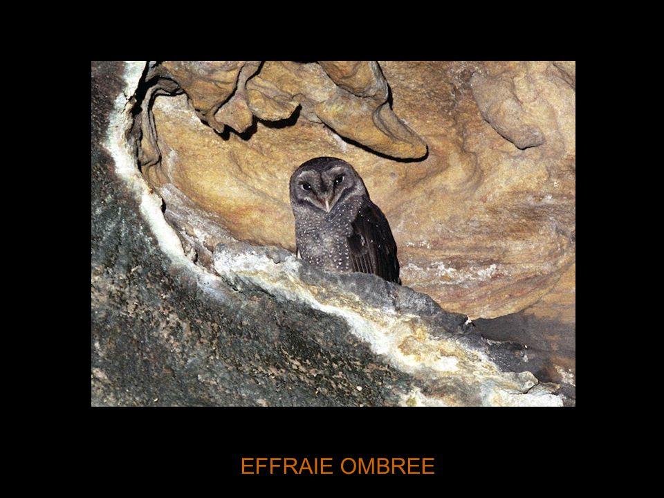 EFFRAIE OMBREE