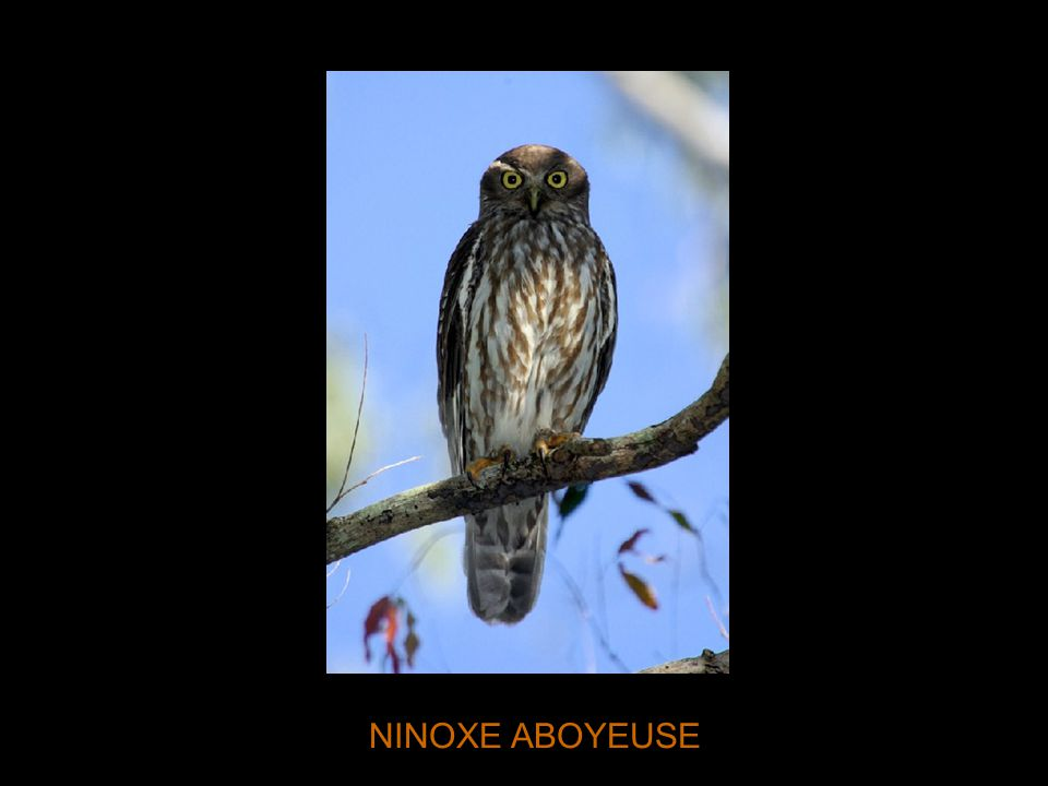 NINOXE ABOYEUSE