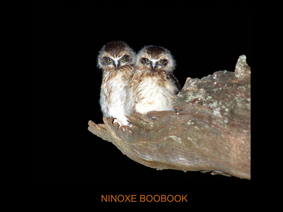 NINOXE BOOBOOK
