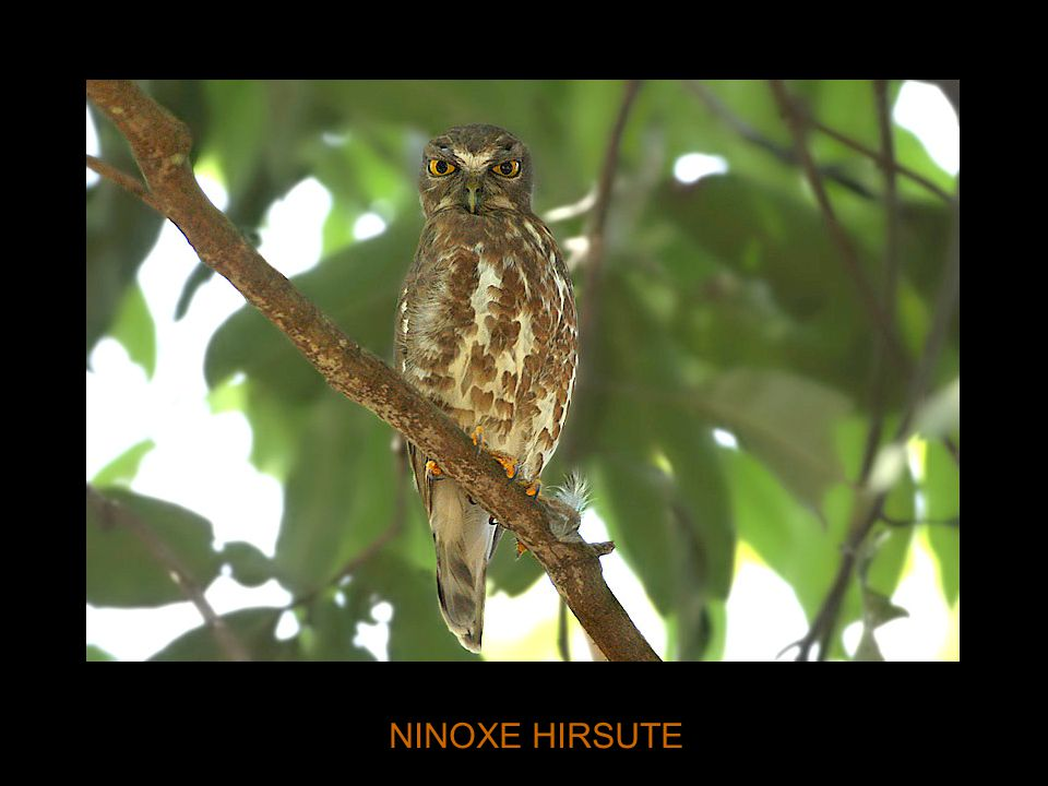NINOXE HIRSUTE