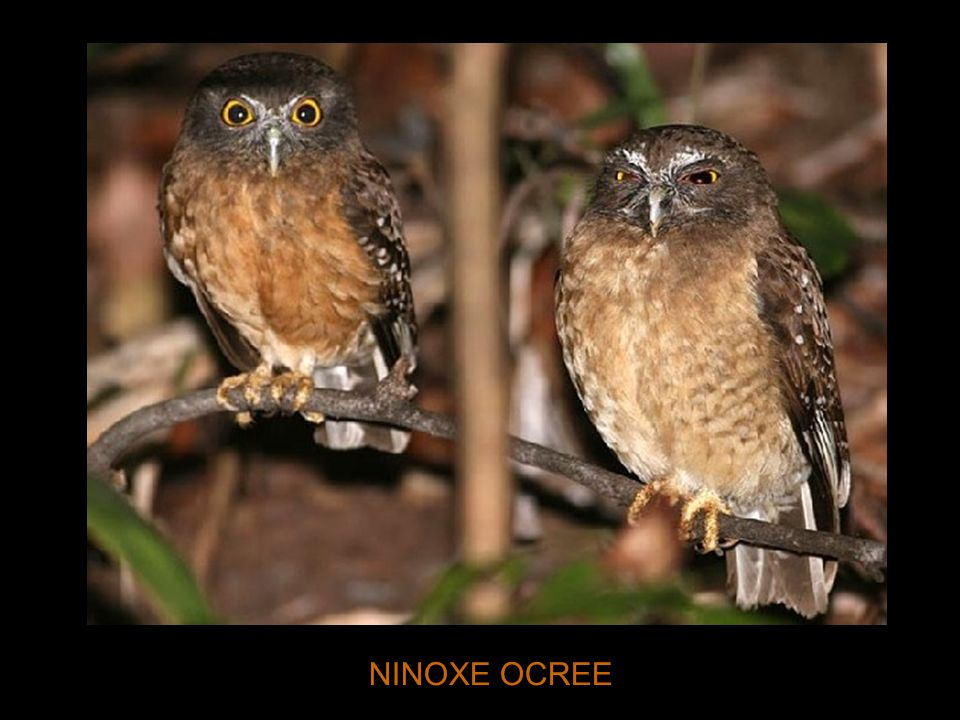 NINOXE OCREE