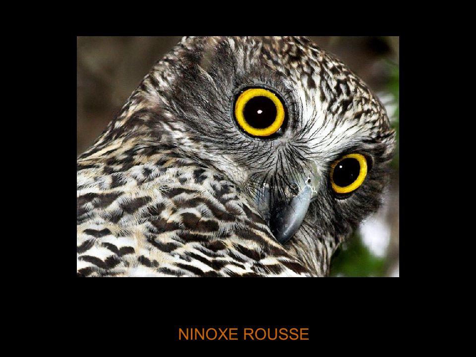 NINOXE ROUSSE