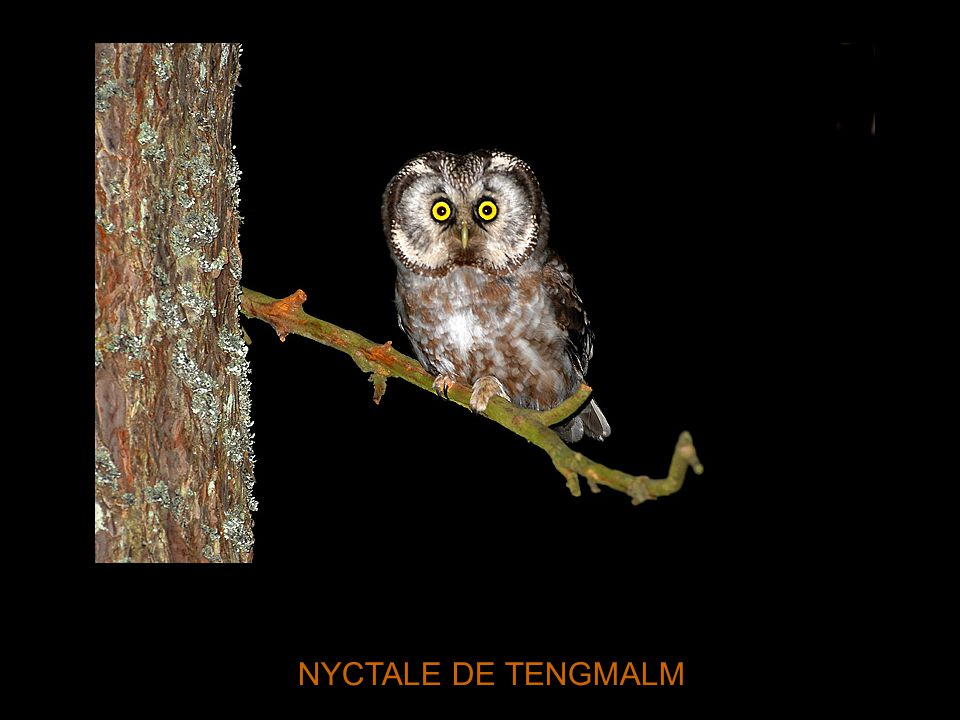 NYCTALE DE TENGMALM